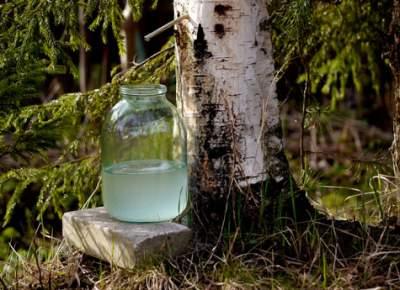 Сок этого дерева способствует детоксикации организма